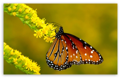 Monarch Butterfly on Yellow Flowers HD wallpaper for Wide 16:10 5:3 Widescreen WHXGA WQXGA WUXGA WXGA WGA ; HD 16:9 High Definition WQHD QWXGA 1080p 900p 720p QHD nHD ; Standard 4:3 5:4 3:2 Fullscreen UXGA XGA SVGA QSXGA SXGA DVGA HVGA HQVGA devices ( Apple PowerBook G4 iPhone 4 3G 3GS iPod Touch ) ; iPad 1/2/Mini ; Mobile 4:3 5:3 3:2 16:9 5:4 - UXGA XGA SVGA WGA DVGA HVGA HQVGA devices ( Apple PowerBook G4 iPhone 4 3G 3GS iPod Touch ) WQHD QWXGA 1080p 900p 720p QHD nHD QSXGA SXGA ;