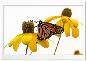 Monarch Solitude Ultra HD Wallpaper for 4K UHD Widescreen desktop, tablet & smartphone