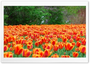 Monarch Tulips Flowers HD Wide Wallpaper for Widescreen