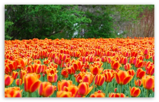 Monarch Tulips Flowers ❤ 4K UHD Wallpaper for Wide 16:10 5:3 Widescreen WHXGA WQXGA WUXGA WXGA WGA ; 4K UHD 16:9 Ultra High Definition 2160p 1440p 1080p 900p 720p ; Standard 4:3 5:4 3:2 Fullscreen UXGA XGA SVGA QSXGA SXGA DVGA HVGA HQVGA ( Apple PowerBook G4 iPhone 4 3G 3GS iPod Touch ) ; Smartphone 5:3 WGA ; Tablet 1:1 ; iPad 1/2/Mini ; Mobile 4:3 5:3 3:2 16:9 5:4 - UXGA XGA SVGA WGA DVGA HVGA HQVGA ( Apple PowerBook G4 iPhone 4 3G 3GS iPod Touch ) 2160p 1440p 1080p 900p 720p QSXGA SXGA ;