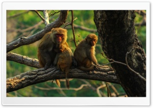 Monkey HD Wide Wallpaper for 4K UHD Widescreen desktop & smartphone