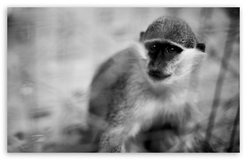 Monkey HD wallpaper for Wide 16:10 5:3 Widescreen WHXGA WQXGA WUXGA WXGA WGA ; HD 16:9 High Definition WQHD QWXGA 1080p 900p 720p QHD nHD ; UHD 16:9 WQHD QWXGA 1080p 900p 720p QHD nHD ; Standard 4:3 5:4 3:2 Fullscreen UXGA XGA SVGA QSXGA SXGA DVGA HVGA HQVGA devices ( Apple PowerBook G4 iPhone 4 3G 3GS iPod Touch ) ; Tablet 1:1 ; iPad 1/2/Mini ; Mobile 4:3 5:3 3:2 16:9 5:4 - UXGA XGA SVGA WGA DVGA HVGA HQVGA devices ( Apple PowerBook G4 iPhone 4 3G 3GS iPod Touch ) WQHD QWXGA 1080p 900p 720p QHD nHD QSXGA SXGA ;