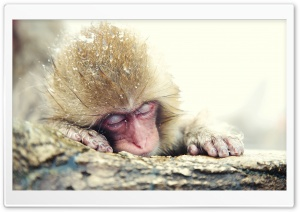 Monkey Ultra HD Wallpaper for 4K UHD Widescreen desktop, tablet & smartphone