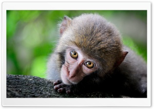 Monkey Big Eyes HD Wide Wallpaper for Widescreen