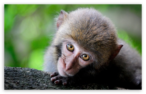 Monkey Big Eyes ❤ 4K UHD Wallpaper for Wide 16:10 5:3 Widescreen WHXGA WQXGA WUXGA WXGA WGA ; UltraWide 21:9 ; 4K UHD 16:9 Ultra High Definition 2160p 1440p 1080p 900p 720p ; Standard 4:3 5:4 3:2 Fullscreen UXGA XGA SVGA QSXGA SXGA DVGA HVGA HQVGA ( Apple PowerBook G4 iPhone 4 3G 3GS iPod Touch ) ; Smartphone 16:9 3:2 5:3 2160p 1440p 1080p 900p 720p DVGA HVGA HQVGA ( Apple PowerBook G4 iPhone 4 3G 3GS iPod Touch ) WGA ; Tablet 1:1 ; iPad 1/2/Mini ; Mobile 4:3 5:3 3:2 16:9 5:4 - UXGA XGA SVGA WGA DVGA HVGA HQVGA ( Apple PowerBook G4 iPhone 4 3G 3GS iPod Touch ) 2160p 1440p 1080p 900p 720p QSXGA SXGA ;