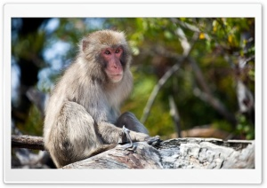 Monkey Sitting On A Branch, Japan HD Wide Wallpaper for Widescreen