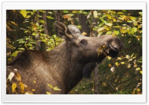 Moose In Fall HD Wide Wallpaper for Widescreen