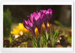 More Crocus Flowers HD Wide Wallpaper for Widescreen