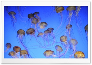 More Jellyfish HD Wide Wallpaper for 4K UHD Widescreen desktop & smartphone