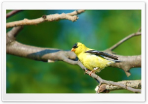 Moril-Goldfinch HD Wide Wallpaper for Widescreen