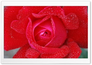 Morning dew on a Red Rose HD Wide Wallpaper for Widescreen