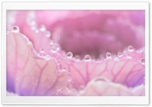 Morning Dew On Pink Flower HD Wide Wallpaper for Widescreen