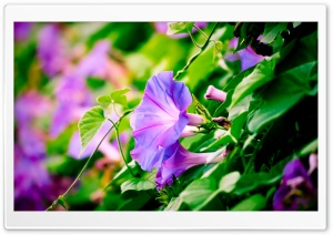 Morning Glory HD Wide Wallpaper for Widescreen