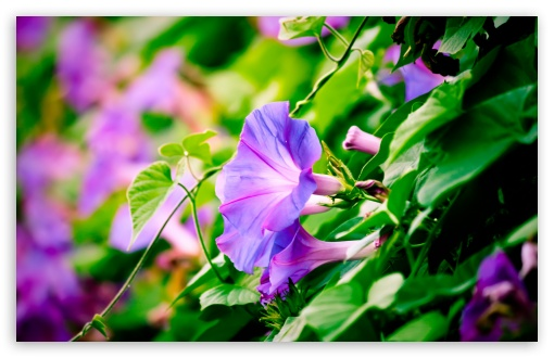 Morning Glory HD wallpaper for Wide 16:10 5:3 Widescreen WHXGA WQXGA WUXGA WXGA WGA ; HD 16:9 High Definition WQHD QWXGA 1080p 900p 720p QHD nHD ; Standard 4:3 5:4 3:2 Fullscreen UXGA XGA SVGA QSXGA SXGA DVGA HVGA HQVGA devices ( Apple PowerBook G4 iPhone 4 3G 3GS iPod Touch ) ; Tablet 1:1 ; iPad 1/2/Mini ; Mobile 4:3 5:3 3:2 16:9 5:4 - UXGA XGA SVGA WGA DVGA HVGA HQVGA devices ( Apple PowerBook G4 iPhone 4 3G 3GS iPod Touch ) WQHD QWXGA 1080p 900p 720p QHD nHD QSXGA SXGA ; Dual 5:4 QSXGA SXGA ;