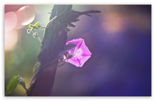 Morning Glory Vine ❤ 4K UHD Wallpaper for Wide 16:10 5:3 Widescreen WHXGA WQXGA WUXGA WXGA WGA ; 4K UHD 16:9 Ultra High Definition 2160p 1440p 1080p 900p 720p ; UHD 16:9 2160p 1440p 1080p 900p 720p ; Standard 4:3 5:4 3:2 Fullscreen UXGA XGA SVGA QSXGA SXGA DVGA HVGA HQVGA ( Apple PowerBook G4 iPhone 4 3G 3GS iPod Touch ) ; Tablet 1:1 ; iPad 1/2/Mini ; Mobile 4:3 5:3 3:2 16:9 5:4 - UXGA XGA SVGA WGA DVGA HVGA HQVGA ( Apple PowerBook G4 iPhone 4 3G 3GS iPod Touch ) 2160p 1440p 1080p 900p 720p QSXGA SXGA ; Dual 4:3 5:4 UXGA XGA SVGA QSXGA SXGA ;