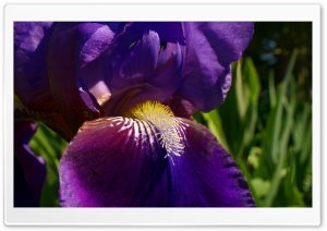 Morning Iris HD Wide Wallpaper for 4K UHD Widescreen desktop & smartphone