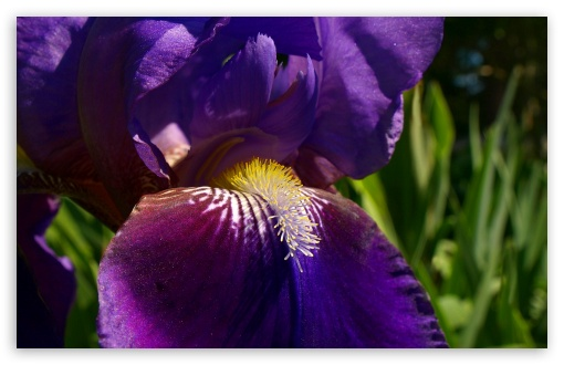 Morning Iris HD wallpaper for Wide 16:10 5:3 Widescreen WHXGA WQXGA WUXGA WXGA WGA ; HD 16:9 High Definition WQHD QWXGA 1080p 900p 720p QHD nHD ; Standard 4:3 5:4 3:2 Fullscreen UXGA XGA SVGA QSXGA SXGA DVGA HVGA HQVGA devices ( Apple PowerBook G4 iPhone 4 3G 3GS iPod Touch ) ; Tablet 1:1 ; iPad 1/2/Mini ; Mobile 4:3 5:3 3:2 16:9 5:4 - UXGA XGA SVGA WGA DVGA HVGA HQVGA devices ( Apple PowerBook G4 iPhone 4 3G 3GS iPod Touch ) WQHD QWXGA 1080p 900p 720p QHD nHD QSXGA SXGA ;