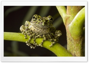 Moss Frog Native To Northern Vietnam Theloderma Corticale HD Wide Wallpaper for 4K UHD Widescreen desktop & smartphone