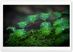 Moss Leaves And Drops HD Wide Wallpaper for Widescreen