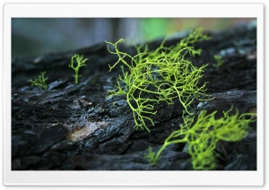 Moss Macro HD Wide Wallpaper for 4K UHD Widescreen desktop & smartphone
