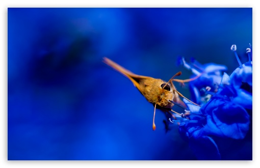 Moth, Blue Flowers ❤ 4K UHD Wallpaper for Wide 16:10 5:3 Widescreen WHXGA WQXGA WUXGA WXGA WGA ; UltraWide 21:9 ; 4K UHD 16:9 Ultra High Definition 2160p 1440p 1080p 900p 720p ; Standard 4:3 5:4 3:2 Fullscreen UXGA XGA SVGA QSXGA SXGA DVGA HVGA HQVGA ( Apple PowerBook G4 iPhone 4 3G 3GS iPod Touch ) ; Smartphone 16:9 3:2 5:3 2160p 1440p 1080p 900p 720p DVGA HVGA HQVGA ( Apple PowerBook G4 iPhone 4 3G 3GS iPod Touch ) WGA ; Tablet 1:1 ; iPad 1/2/Mini ; Mobile 4:3 5:3 3:2 16:9 5:4 - UXGA XGA SVGA WGA DVGA HVGA HQVGA ( Apple PowerBook G4 iPhone 4 3G 3GS iPod Touch ) 2160p 1440p 1080p 900p 720p QSXGA SXGA ; Dual 16:10 5:3 4:3 5:4 3:2 WHXGA WQXGA WUXGA WXGA WGA UXGA XGA SVGA QSXGA SXGA DVGA HVGA HQVGA ( Apple PowerBook G4 iPhone 4 3G 3GS iPod Touch ) ;