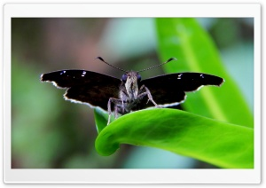 Moth Butterfly HD Wide Wallpaper for Widescreen
