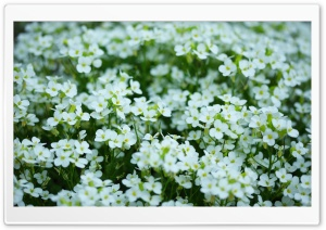 Mother's Day White Flowers HD Wide Wallpaper for Widescreen
