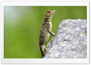 Mountain Lizard HD Wide Wallpaper for Widescreen