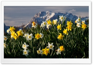 Mountain Narcissus HD Wide Wallpaper for Widescreen