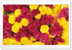 Mums Flowers HD Wide Wallpaper for Widescreen
