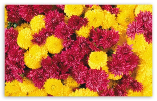Mums Flowers HD wallpaper for Wide 16:10 5:3 Widescreen WHXGA WQXGA WUXGA WXGA WGA ; HD 16:9 High Definition WQHD QWXGA 1080p 900p 720p QHD nHD ; Standard 4:3 5:4 3:2 Fullscreen UXGA XGA SVGA QSXGA SXGA DVGA HVGA HQVGA devices ( Apple PowerBook G4 iPhone 4 3G 3GS iPod Touch ) ; Tablet 1:1 ; iPad 1/2/Mini ; Mobile 4:3 5:3 3:2 16:9 5:4 - UXGA XGA SVGA WGA DVGA HVGA HQVGA devices ( Apple PowerBook G4 iPhone 4 3G 3GS iPod Touch ) WQHD QWXGA 1080p 900p 720p QHD nHD QSXGA SXGA ;
