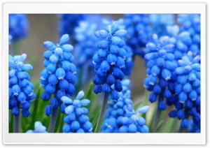 Muscari HD Wide Wallpaper for Widescreen