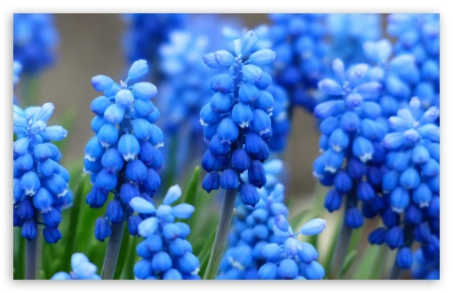 Muscari ❤ 4K UHD Wallpaper for Wide 16:10 5:3 Widescreen WHXGA WQXGA WUXGA WXGA WGA ; 4K UHD 16:9 Ultra High Definition 2160p 1440p 1080p 900p 720p ; Standard 4:3 5:4 3:2 Fullscreen UXGA XGA SVGA QSXGA SXGA DVGA HVGA HQVGA ( Apple PowerBook G4 iPhone 4 3G 3GS iPod Touch ) ; Tablet 1:1 ; iPad 1/2/Mini ; Mobile 4:3 5:3 3:2 16:9 5:4 - UXGA XGA SVGA WGA DVGA HVGA HQVGA ( Apple PowerBook G4 iPhone 4 3G 3GS iPod Touch ) 2160p 1440p 1080p 900p 720p QSXGA SXGA ;