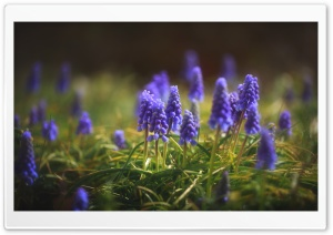 Muscari, Grape Hyacinth Flowers HD Wide Wallpaper for Widescreen