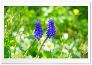 Muscari In Garden HD Wide Wallpaper for Widescreen