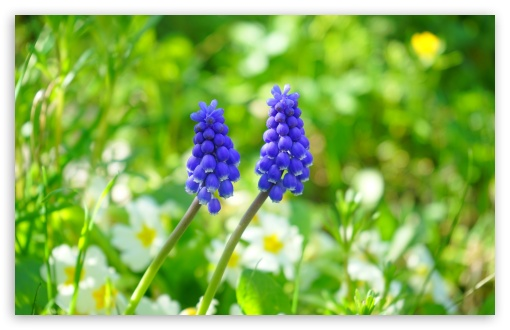 Muscari In Garden ❤ 4K UHD Wallpaper for Wide 16:10 5:3 Widescreen WHXGA WQXGA WUXGA WXGA WGA ; 4K UHD 16:9 Ultra High Definition 2160p 1440p 1080p 900p 720p ; UHD 16:9 2160p 1440p 1080p 900p 720p ; Standard 4:3 5:4 3:2 Fullscreen UXGA XGA SVGA QSXGA SXGA DVGA HVGA HQVGA ( Apple PowerBook G4 iPhone 4 3G 3GS iPod Touch ) ; Smartphone 5:3 WGA ; Tablet 1:1 ; iPad 1/2/Mini ; Mobile 4:3 5:3 3:2 16:9 5:4 - UXGA XGA SVGA WGA DVGA HVGA HQVGA ( Apple PowerBook G4 iPhone 4 3G 3GS iPod Touch ) 2160p 1440p 1080p 900p 720p QSXGA SXGA ; Dual 16:10 5:3 16:9 4:3 5:4 WHXGA WQXGA WUXGA WXGA WGA 2160p 1440p 1080p 900p 720p UXGA XGA SVGA QSXGA SXGA ;