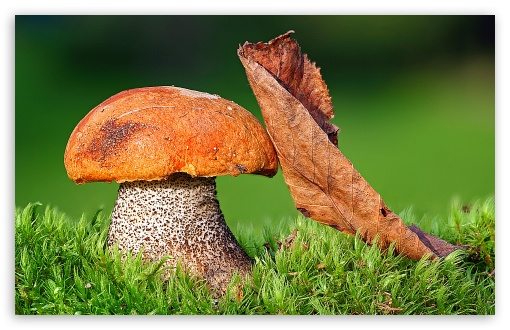 Mushroom HD wallpaper for Wide 16:10 5:3 Widescreen WHXGA WQXGA WUXGA WXGA WGA ; HD 16:9 High Definition WQHD QWXGA 1080p 900p 720p QHD nHD ; Standard 4:3 5:4 Fullscreen UXGA XGA SVGA QSXGA SXGA ; MS 3:2 DVGA HVGA HQVGA devices ( Apple PowerBook G4 iPhone 4 3G 3GS iPod Touch ) ; Mobile VGA WVGA iPhone iPad PSP Phone - VGA QVGA Smartphone ( PocketPC GPS iPod Zune BlackBerry HTC Samsung LG Nokia Eten Asus ) WVGA WQVGA Smartphone ( HTC Samsung Sony Ericsson LG Vertu MIO ) HVGA Smartphone ( Apple iPhone iPod BlackBerry HTC Samsung Nokia ) Sony PSP Zune HD Zen ; Tablet 1&2 Android ;