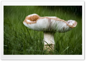 Mushroom, September Rain HD Wide Wallpaper for 4K UHD Widescreen desktop & smartphone