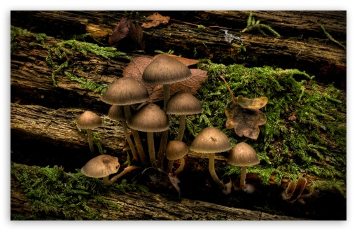 Mushrooms Growing On A Tree Stump HD wallpaper for Standard 4:3 5:4 Fullscreen UXGA XGA SVGA QSXGA SXGA ; Wide 16:10 5:3 Widescreen WHXGA WQXGA WUXGA WXGA WGA ; HD 16:9 High Definition WQHD QWXGA 1080p 900p 720p QHD nHD ; Other 3:2 DVGA HVGA HQVGA devices ( Apple PowerBook G4 iPhone 4 3G 3GS iPod Touch ) ; Mobile VGA WVGA iPhone iPad PSP Phone - VGA QVGA Smartphone ( PocketPC GPS iPod Zune BlackBerry HTC Samsung LG Nokia Eten Asus ) WVGA WQVGA Smartphone ( HTC Samsung Sony Ericsson LG Vertu MIO ) HVGA Smartphone ( Apple iPhone iPod BlackBerry HTC Samsung Nokia ) Sony PSP Zune HD Zen ; Tablet 2 Android ;