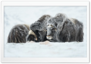 Musk Oxen Animals HD Wide Wallpaper for 4K UHD Widescreen desktop & smartphone