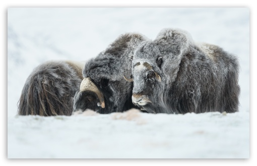 Musk Oxen Animals UltraHD Wallpaper for Wide 16:10 5:3 Widescreen WHXGA WQXGA WUXGA WXGA WGA ; UltraWide 21:9 ; 8K UHD TV 16:9 Ultra High Definition 2160p 1440p 1080p 900p 720p ; Standard 4:3 5:4 3:2 Fullscreen UXGA XGA SVGA QSXGA SXGA DVGA HVGA HQVGA ( Apple PowerBook G4 iPhone 4 3G 3GS iPod Touch ) ; Smartphone 16:9 3:2 5:3 2160p 1440p 1080p 900p 720p DVGA HVGA HQVGA ( Apple PowerBook G4 iPhone 4 3G 3GS iPod Touch ) WGA ; Tablet 1:1 ; iPad 1/2/Mini ; Mobile 4:3 5:3 3:2 16:9 5:4 - UXGA XGA SVGA WGA DVGA HVGA HQVGA ( Apple PowerBook G4 iPhone 4 3G 3GS iPod Touch ) 2160p 1440p 1080p 900p 720p QSXGA SXGA ;