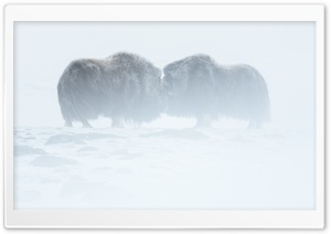 Musk Oxen Animals, Winter HD Wide Wallpaper for 4K UHD Widescreen desktop & smartphone