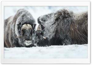 Muskoxen Ultra HD Wallpaper for 4K UHD Widescreen desktop, tablet & smartphone
