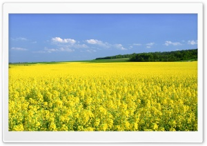 Mustard Flower Field HD Wide Wallpaper for 4K UHD Widescreen desktop & smartphone