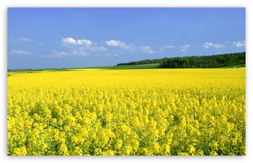 Mustard Flower Field ❤ 4K UHD Wallpaper for Wide 16:10 5:3 Widescreen WHXGA WQXGA WUXGA WXGA WGA ; 4K UHD 16:9 Ultra High Definition 2160p 1440p 1080p 900p 720p ; Standard 4:3 5:4 3:2 Fullscreen UXGA XGA SVGA QSXGA SXGA DVGA HVGA HQVGA ( Apple PowerBook G4 iPhone 4 3G 3GS iPod Touch ) ; Tablet 1:1 ; iPad 1/2/Mini ; Mobile 4:3 5:3 3:2 16:9 5:4 - UXGA XGA SVGA WGA DVGA HVGA HQVGA ( Apple PowerBook G4 iPhone 4 3G 3GS iPod Touch ) 2160p 1440p 1080p 900p 720p QSXGA SXGA ; Dual 16:10 5:3 16:9 4:3 5:4 WHXGA WQXGA WUXGA WXGA WGA 2160p 1440p 1080p 900p 720p UXGA XGA SVGA QSXGA SXGA ;