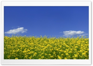 Mustard Flower Field 1 HD Wide Wallpaper for Widescreen