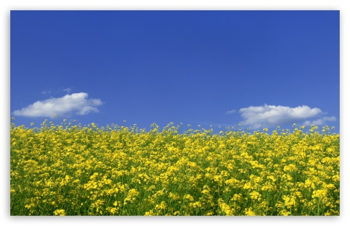 Mustard Flower Field 1 HD wallpaper for Wide 16:10 5:3 Widescreen WHXGA WQXGA WUXGA WXGA WGA ; HD 16:9 High Definition WQHD QWXGA 1080p 900p 720p QHD nHD ; Standard 4:3 5:4 3:2 Fullscreen UXGA XGA SVGA QSXGA SXGA DVGA HVGA HQVGA devices ( Apple PowerBook G4 iPhone 4 3G 3GS iPod Touch ) ; Tablet 1:1 ; iPad 1/2/Mini ; Mobile 4:3 5:3 3:2 16:9 5:4 - UXGA XGA SVGA WGA DVGA HVGA HQVGA devices ( Apple PowerBook G4 iPhone 4 3G 3GS iPod Touch ) WQHD QWXGA 1080p 900p 720p QHD nHD QSXGA SXGA ; Dual 16:10 5:3 16:9 4:3 5:4 WHXGA WQXGA WUXGA WXGA WGA WQHD QWXGA 1080p 900p 720p QHD nHD UXGA XGA SVGA QSXGA SXGA ;