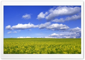 Mustard Flower Field 2 HD Wide Wallpaper for Widescreen