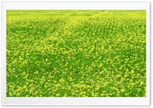 Mustard Flower Field 3 HD Wide Wallpaper for Widescreen