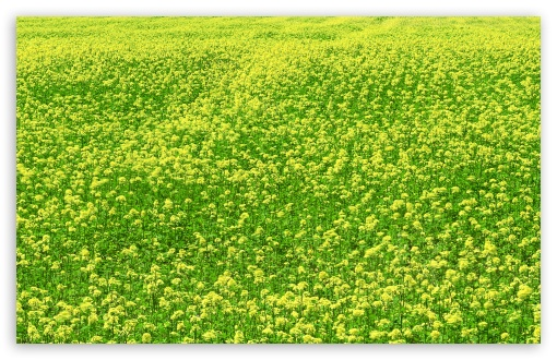Mustard Flower Field 3 HD wallpaper for Wide 16:10 5:3 Widescreen WHXGA WQXGA WUXGA WXGA WGA ; HD 16:9 High Definition WQHD QWXGA 1080p 900p 720p QHD nHD ; Standard 4:3 5:4 3:2 Fullscreen UXGA XGA SVGA QSXGA SXGA DVGA HVGA HQVGA devices ( Apple PowerBook G4 iPhone 4 3G 3GS iPod Touch ) ; Tablet 1:1 ; iPad 1/2/Mini ; Mobile 4:3 5:3 3:2 16:9 5:4 - UXGA XGA SVGA WGA DVGA HVGA HQVGA devices ( Apple PowerBook G4 iPhone 4 3G 3GS iPod Touch ) WQHD QWXGA 1080p 900p 720p QHD nHD QSXGA SXGA ; Dual 16:10 5:3 16:9 4:3 5:4 WHXGA WQXGA WUXGA WXGA WGA WQHD QWXGA 1080p 900p 720p QHD nHD UXGA XGA SVGA QSXGA SXGA ;